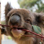 Chalkmarks Koala Pixabay