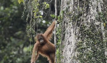 Go ape when you see the orangutans in Sabah